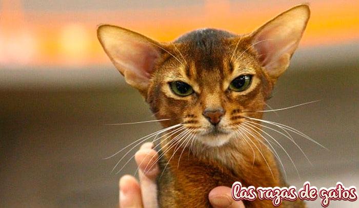 gato abisinio