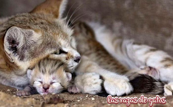 gato de las arenas con su cría