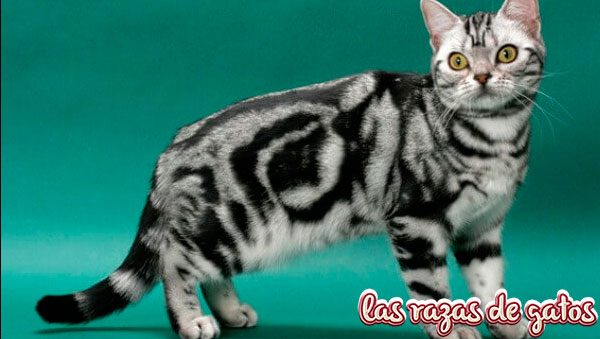 gato americano shortair