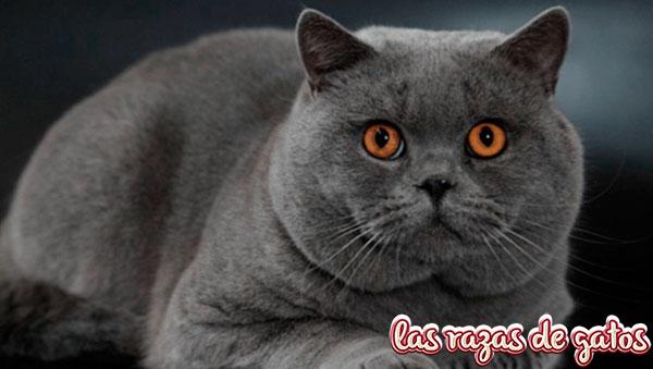 gato britanico de pelo corto - british shorthair