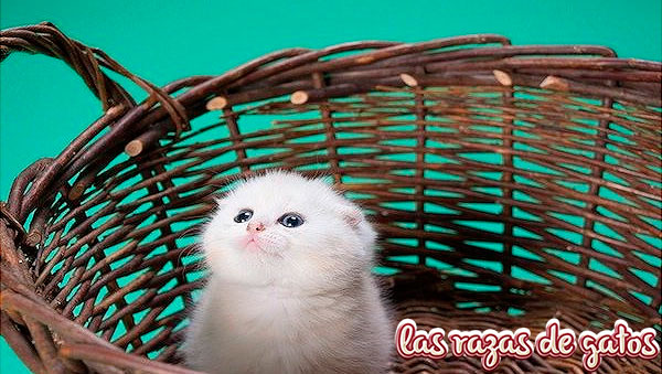cria blanca de gato