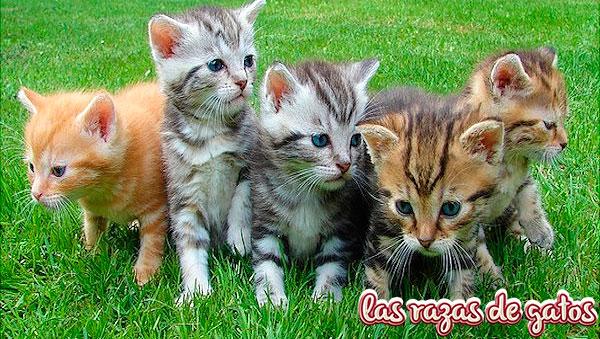 crias bonitas de gatos