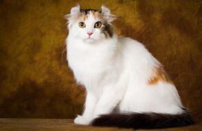 gato curl americano 2
