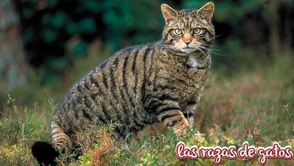 el gato montes en espana