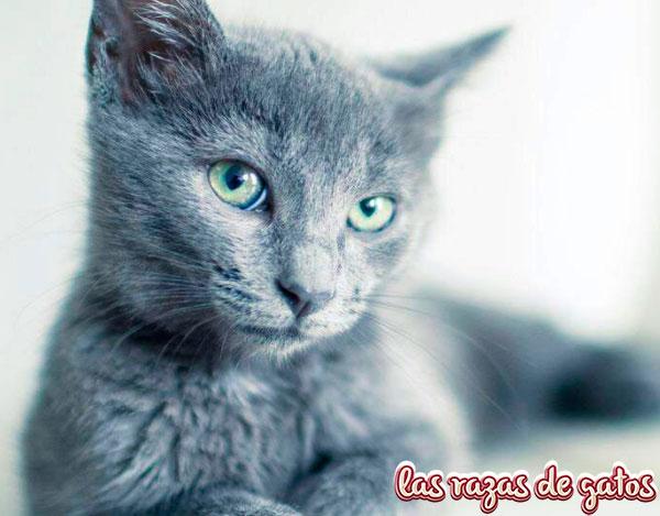 gato azul precioso ruso