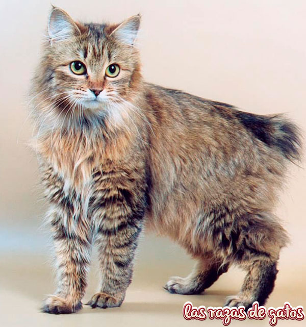 gato bobtail americano como mascota