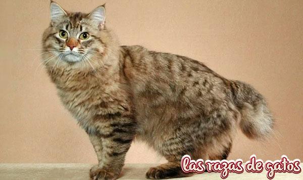 gato bobtail americano de pelo corto