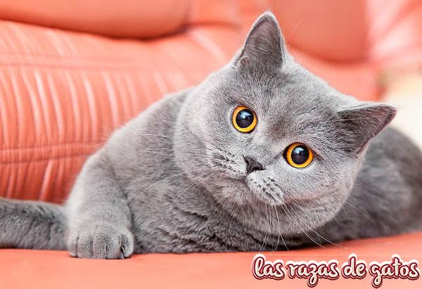 hermosos gatos britanicos de pelo corto