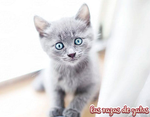 precio gato azul ruso