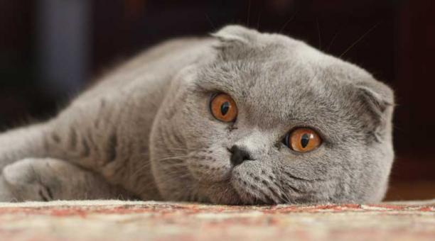 scottish fold gato